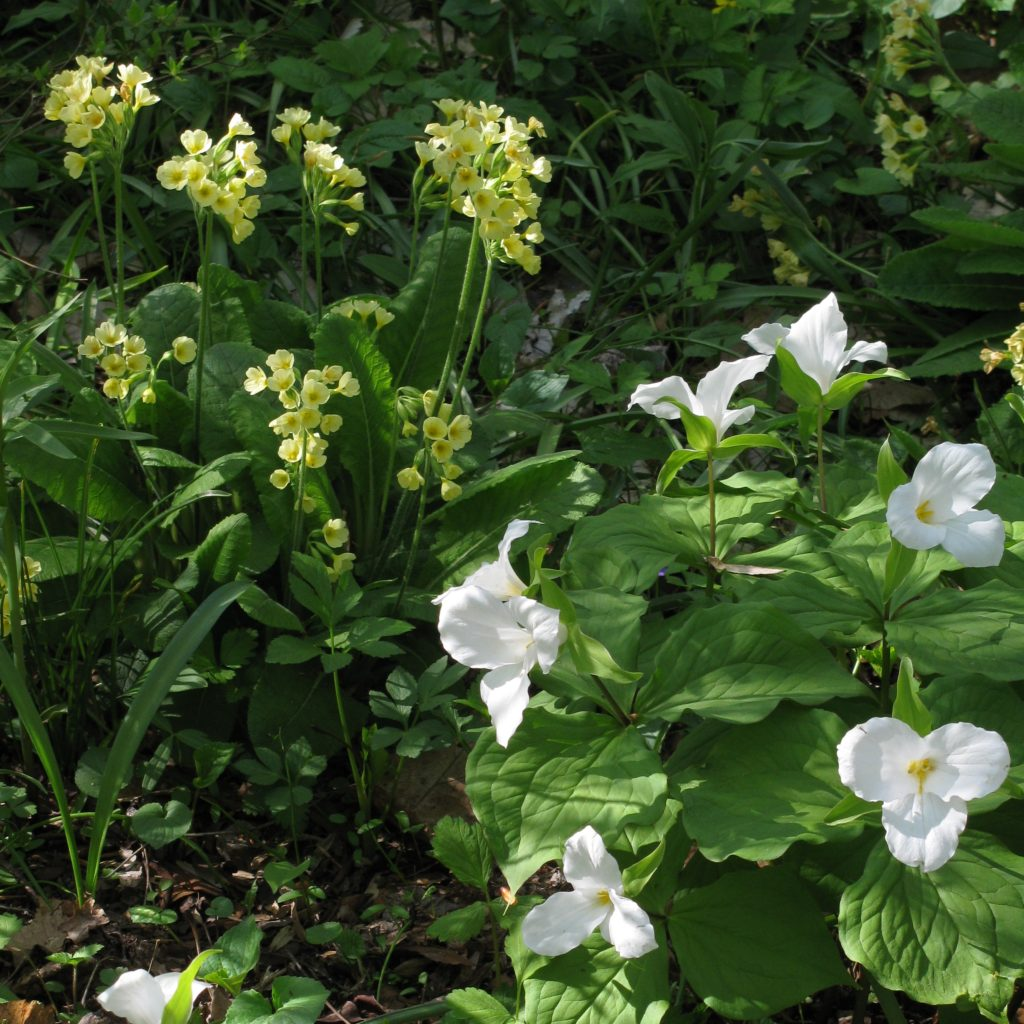 Pale yellow primrose (Primula veris) and great white trillium (Trillium grandiflorum) in Azalea Woods