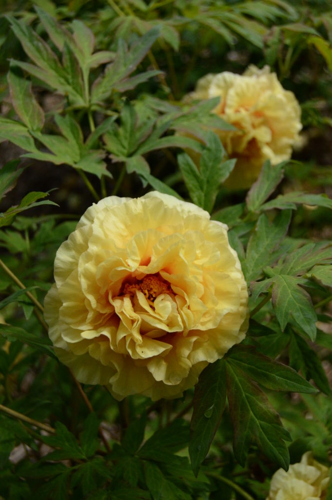 Paeonia 'Age of Gold'