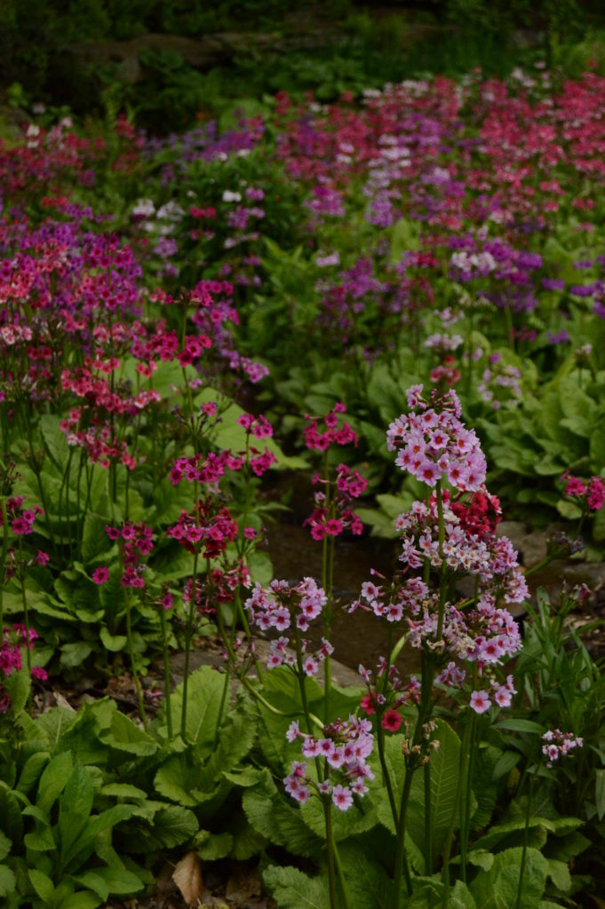Multiple shades of the candelabra-type Japanese primrose (Primula japonica)