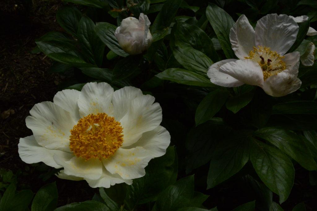 Paeonia 'Winterthur'