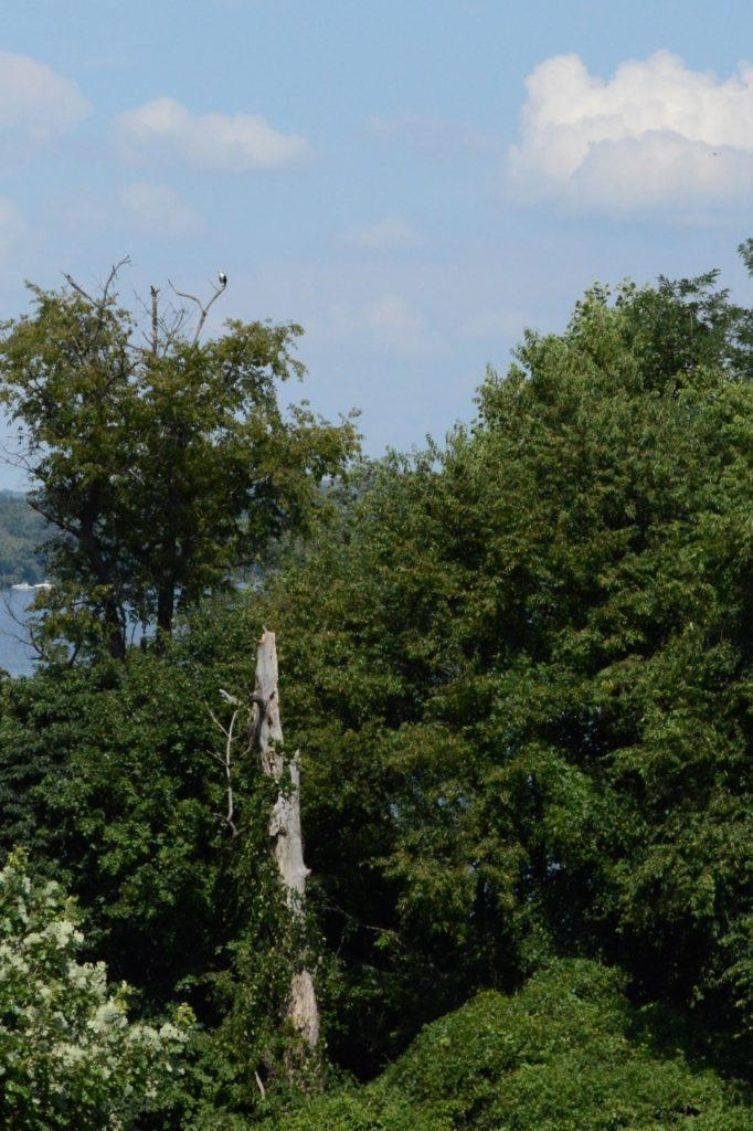Yes, there is a bald eagle at the top of that tree!