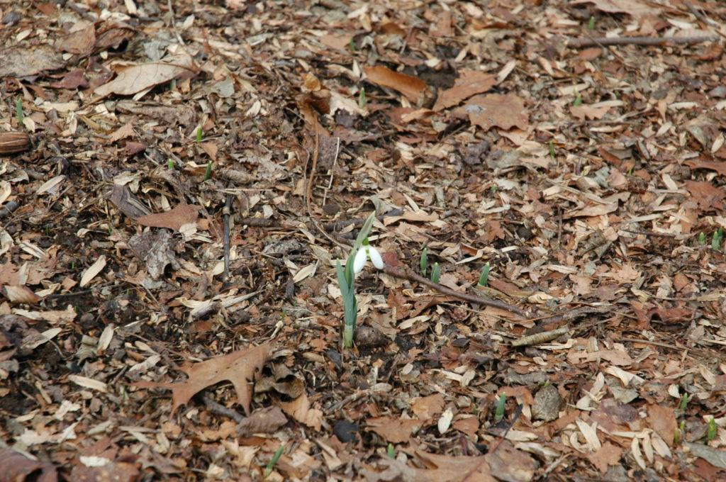 Giant Snowdrop   Galanthus elwesii