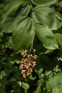ripening berries of false Solomon's seal